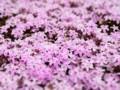 [芝桜]羊山公園 芝桜