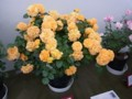 バラ鉢植え部門展示