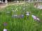 北山公園菖蒲まつり