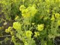 菜の花アップ