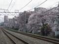 武蔵関公園へ向かう道のサクラ
