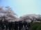 千鳥ヶ淵のサクラ