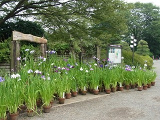 神代植物公園 菖蒲