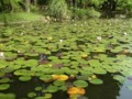 神代植物公園 スイレン
