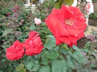 神代植物公園植物公園 バラ