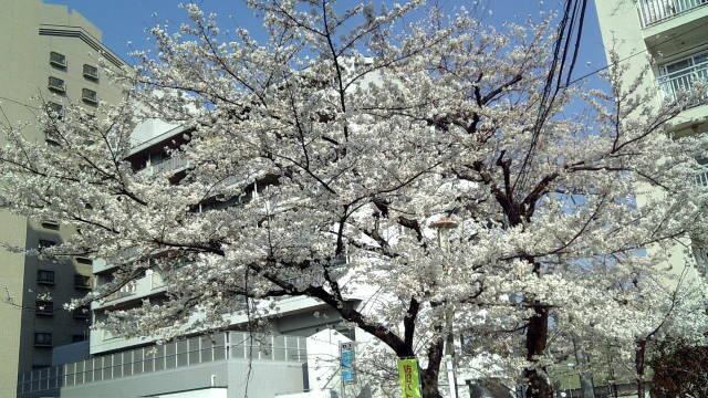今年の桜@会社最寄り駅付近