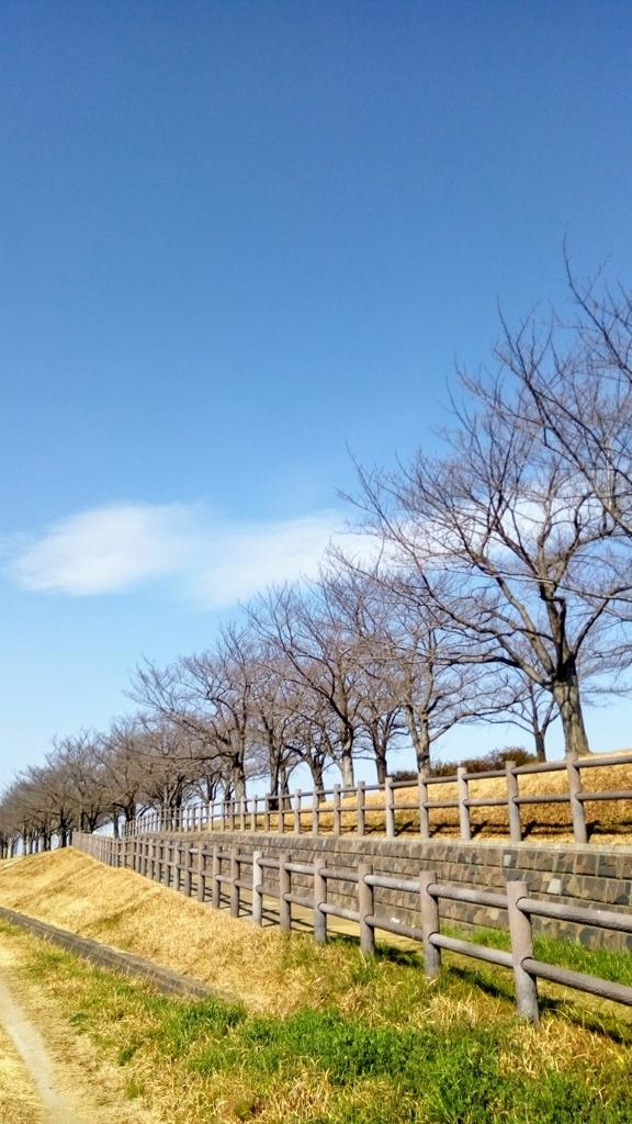 早春の桜並木