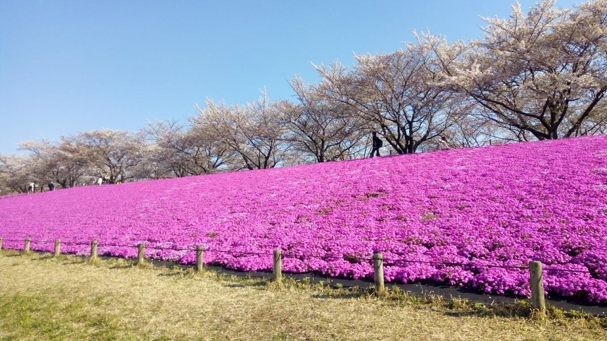 桜(ソメイヨシノ)と芝桜