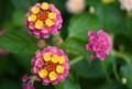[Canon EF35mm F2] 品川区役所の花