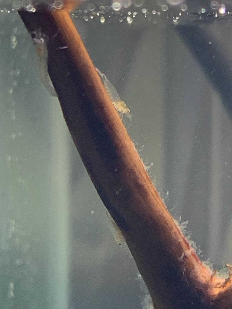 ブランチウッドのヤマトヌマエビ稚エビ