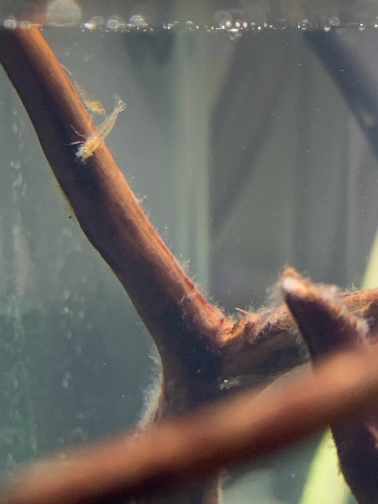 新規立ち上げ水槽のヤマトヌマエビ稚エビ