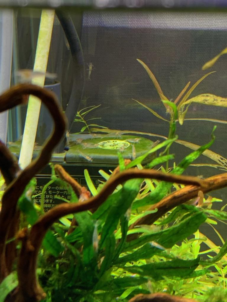 フィルタモーターの苔をつまむヤマトヌマエビの稚エビ