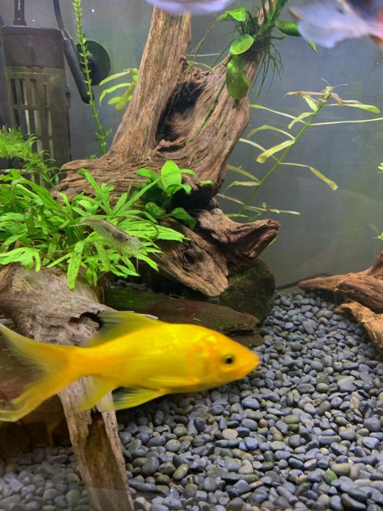60cm水槽のレモンコメット1