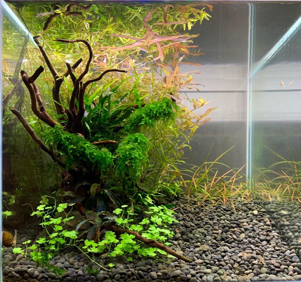 オーストラリアンクローバーの植栽1カ月