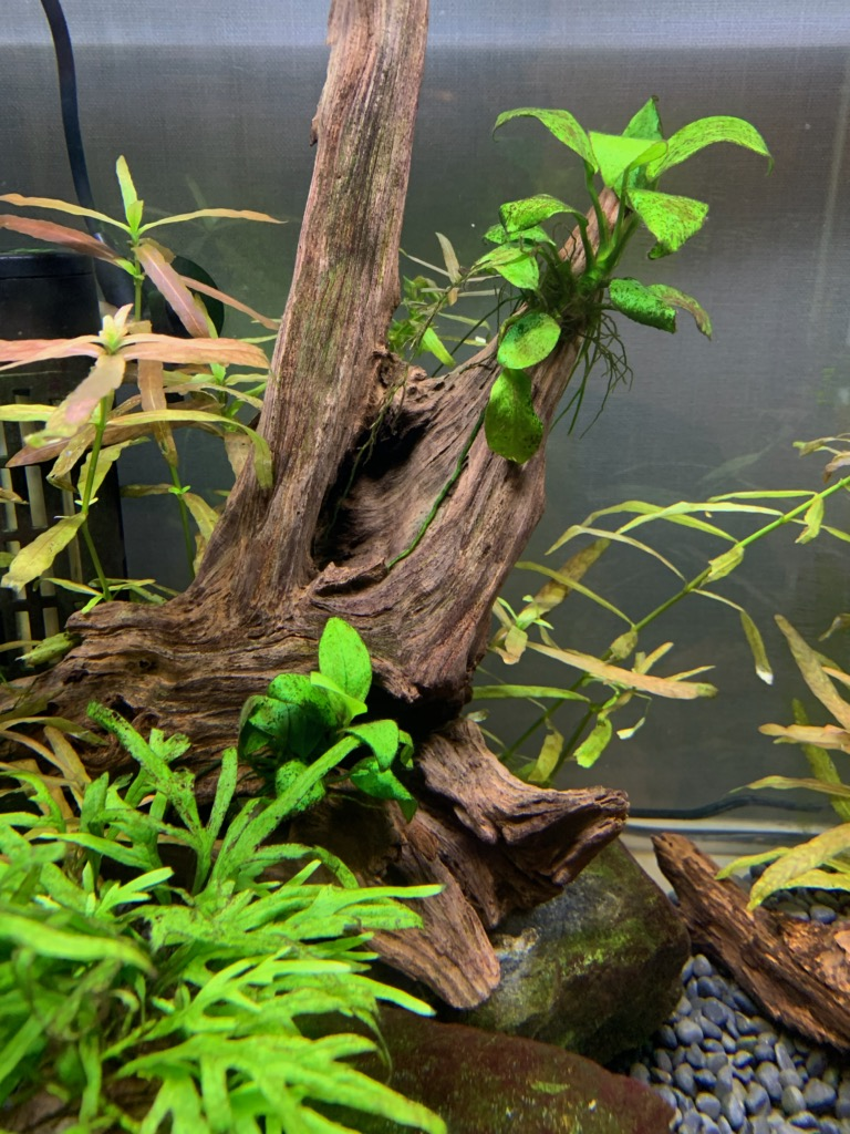 60cm水槽の水草と苔の様子