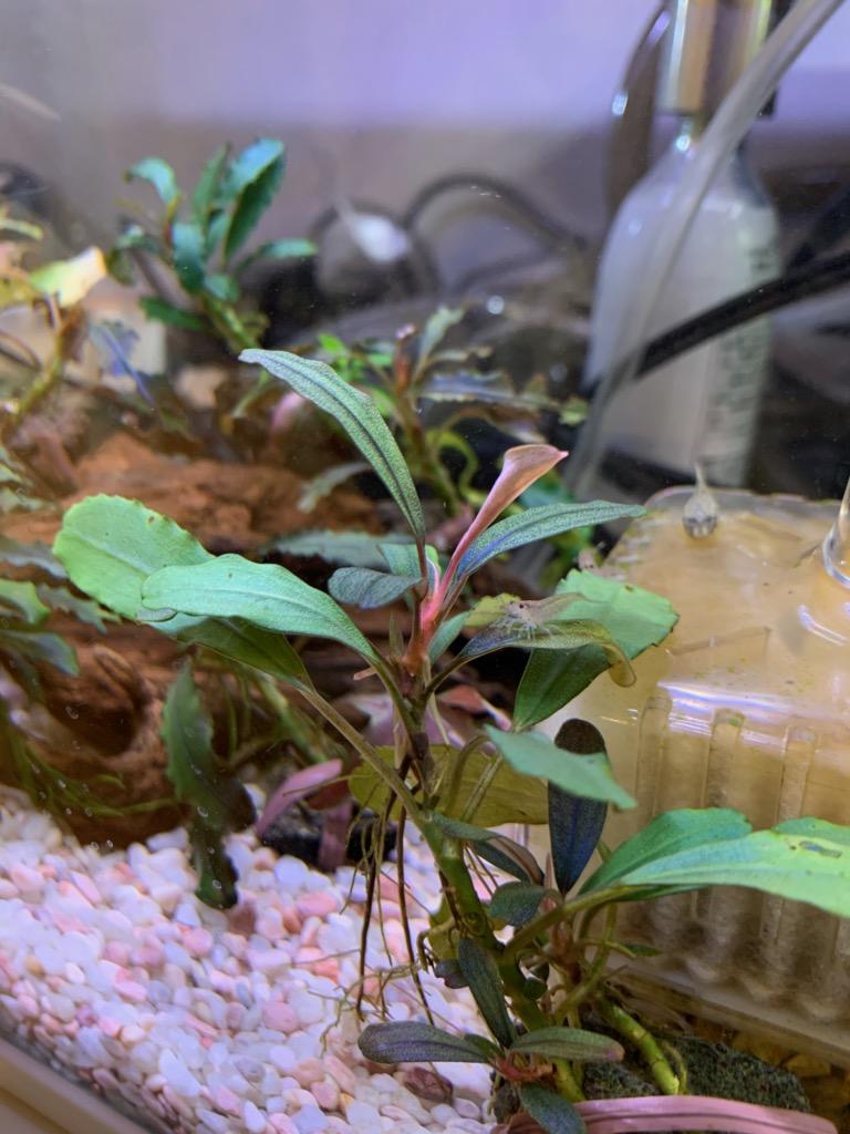 新芽が出てきたブセファランドラsp.freya