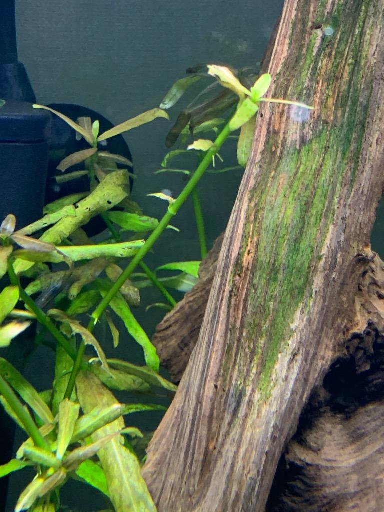 金魚に食べられたハイグロフィラポリスペルマ
