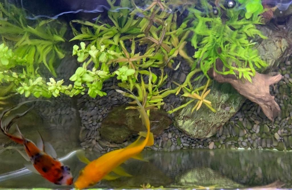 60cm水槽の金魚