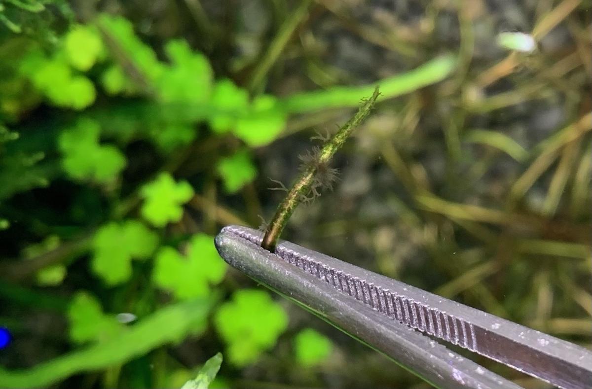 黒髭苔のついた葉っぱをトリミング
