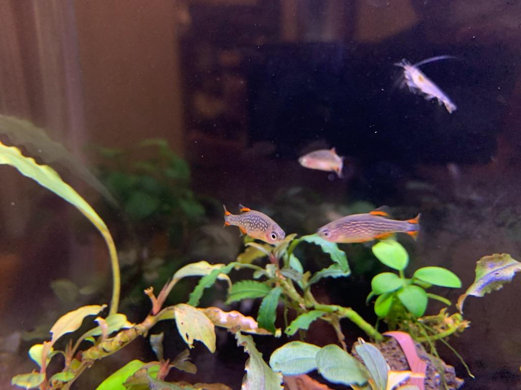 3匹のミクロラスボラsp.ハナビ2