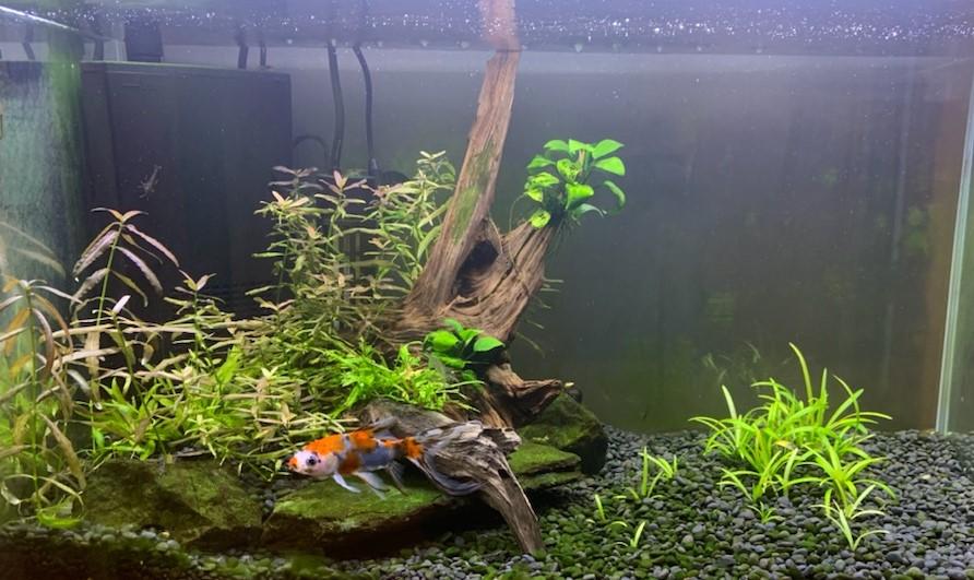 朱文金の住む60cm水槽