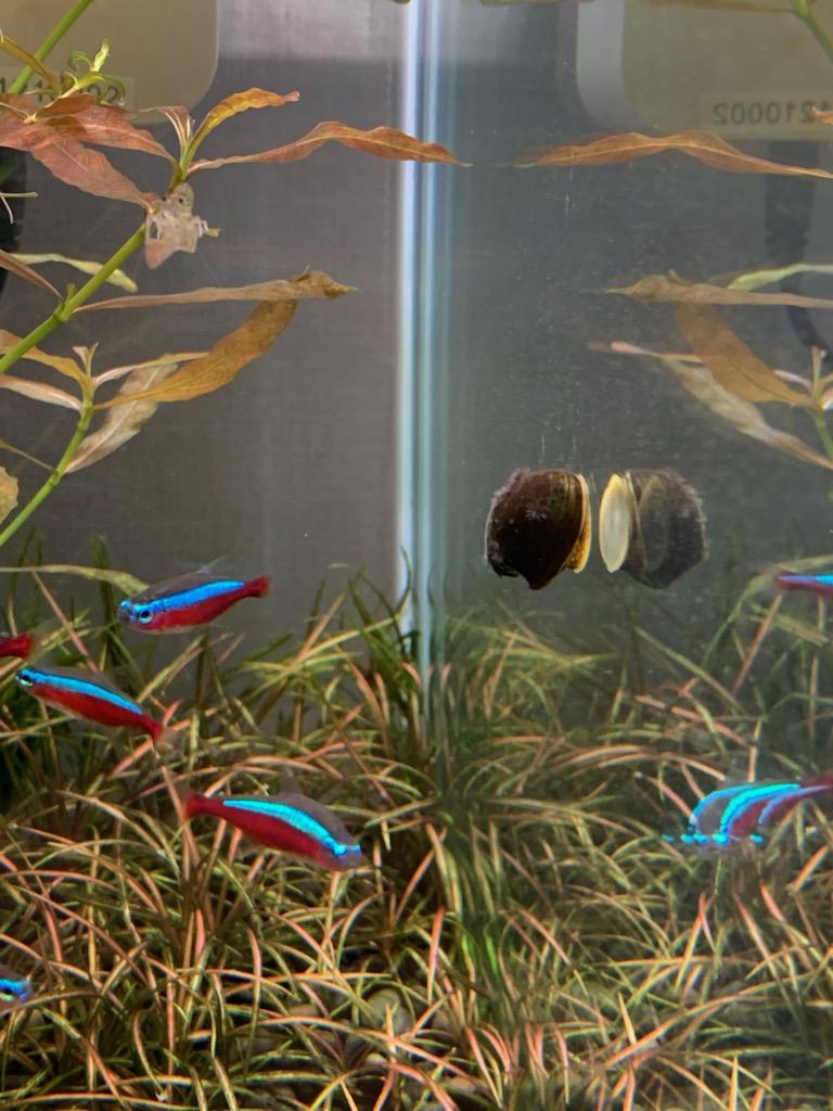 カージナルテトラ水槽の石巻貝