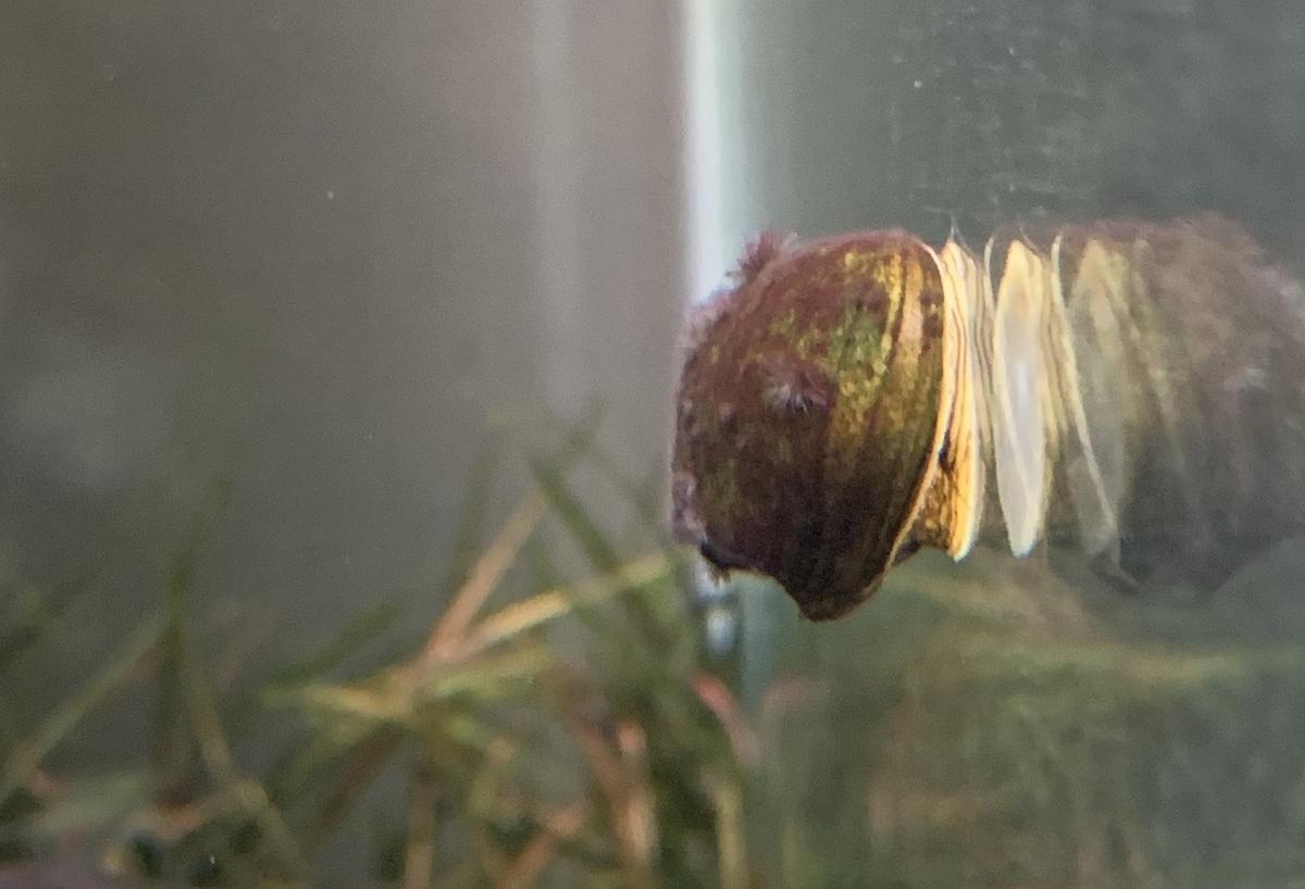 黒髭苔が付いた石巻貝