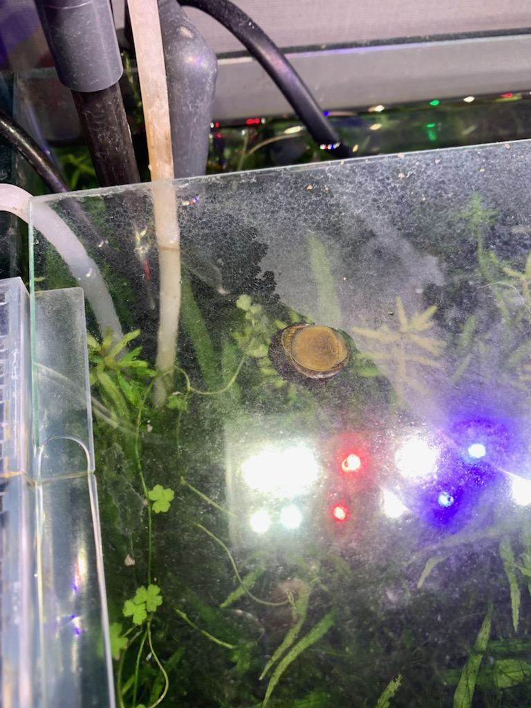 フタを移動する石巻貝