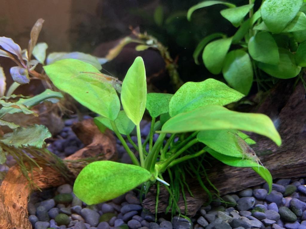 新葉を展開するアヌビアスナナプチ
