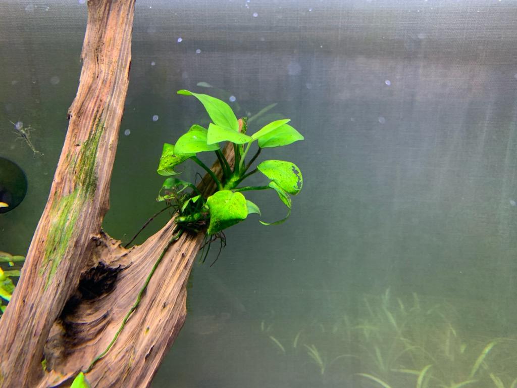 和金水槽のアヌビアスナナプチ