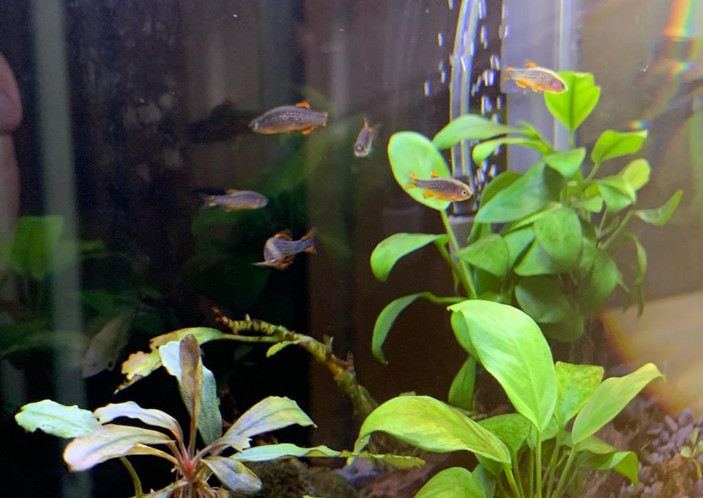 新しく3匹を迎えたミクロラスボラハナビ