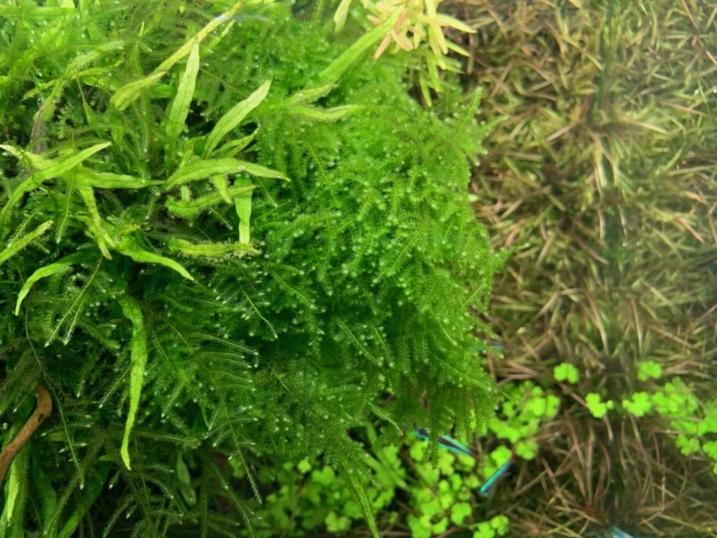 植栽8ヵ月目のウィーピングモス上見
