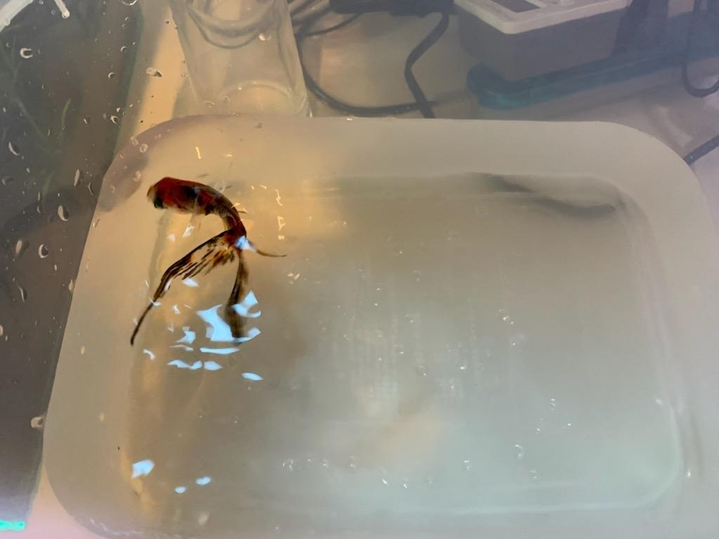 金魚の避難先2