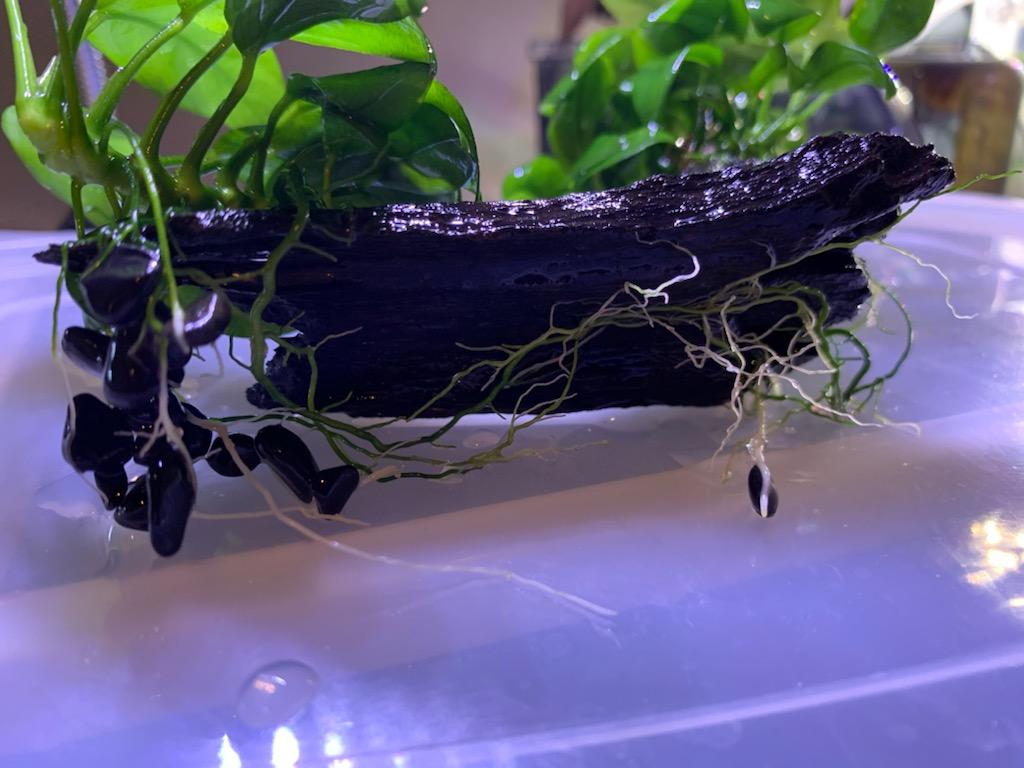 アヌビアスナナプチの根っこ