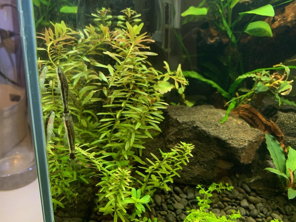 リセット後の60cm水槽に植えたセイロンロタラ