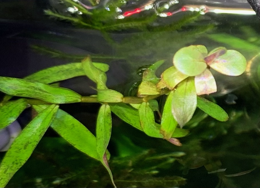 水上葉が出てきたセイロンロタラ
