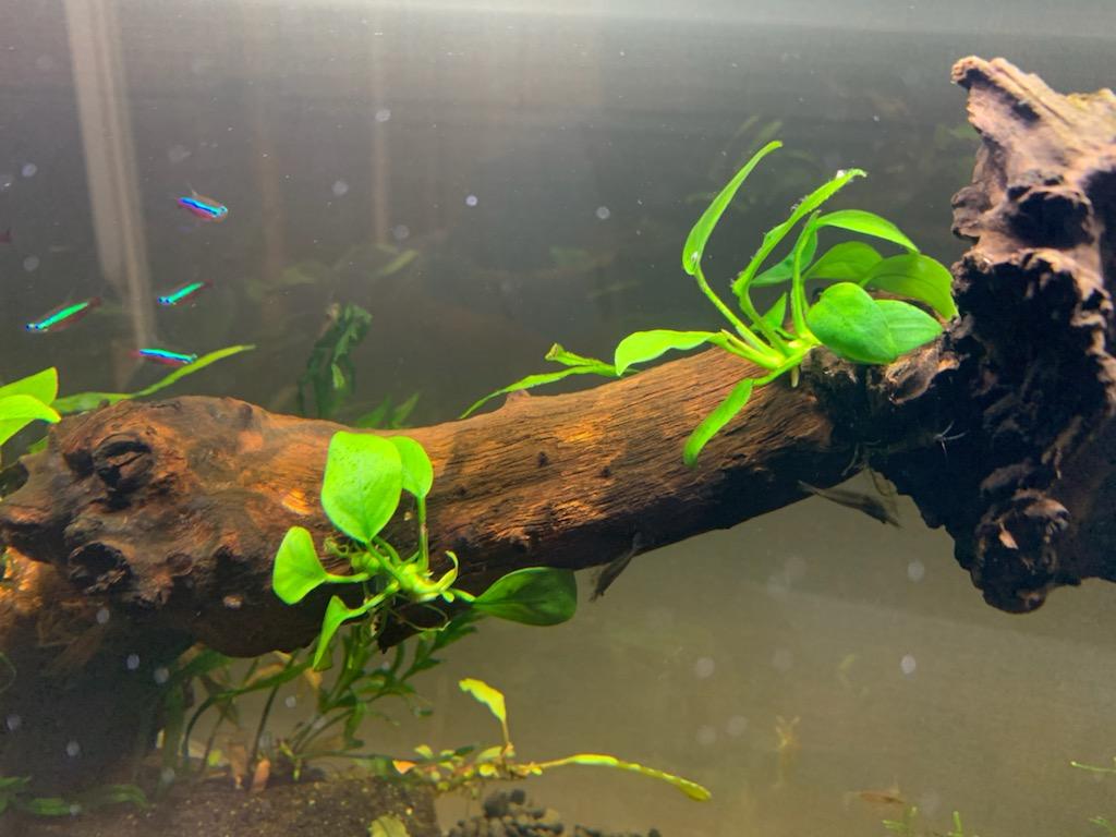 流木の上のアヌビアスナナプチ