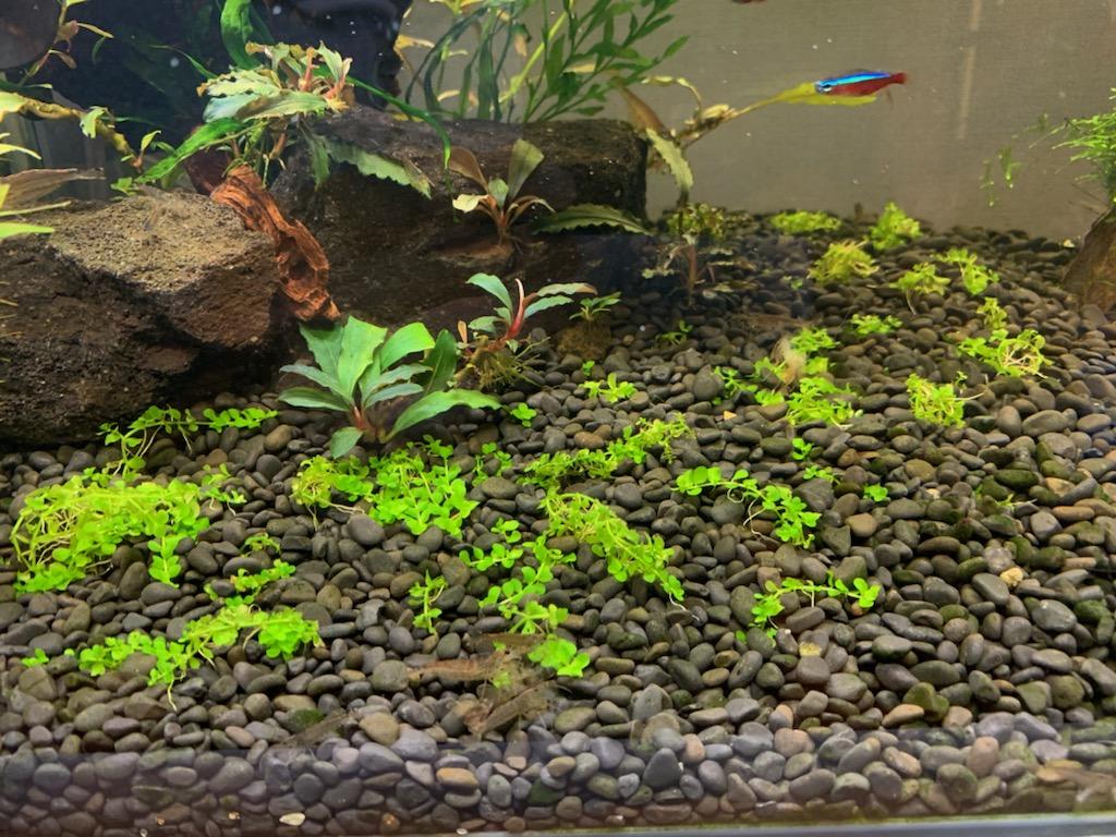 植栽3週間目のニューラージパールグラス