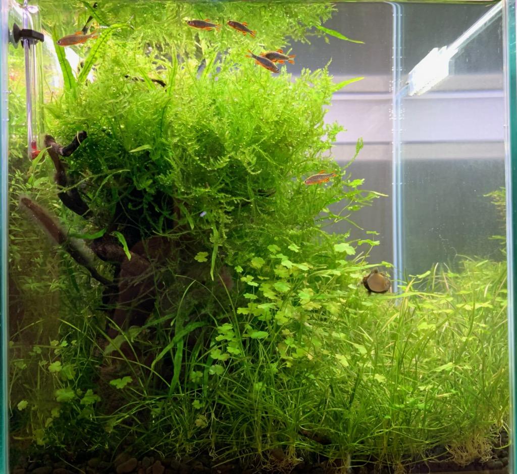 モスの生い茂る30cmキューブ水槽