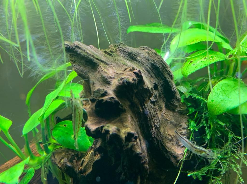 流木の上のヤマトヌマエビ