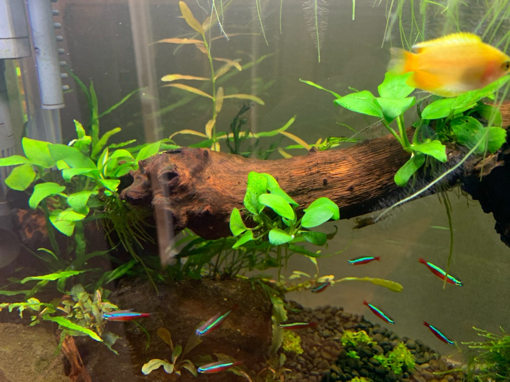 60cm水槽のアヌビアスナナプチ