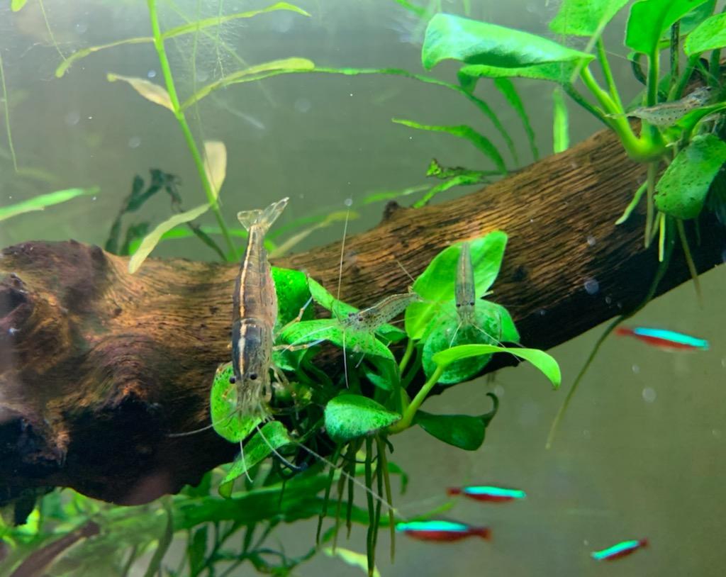 60cm水槽のエビ親子