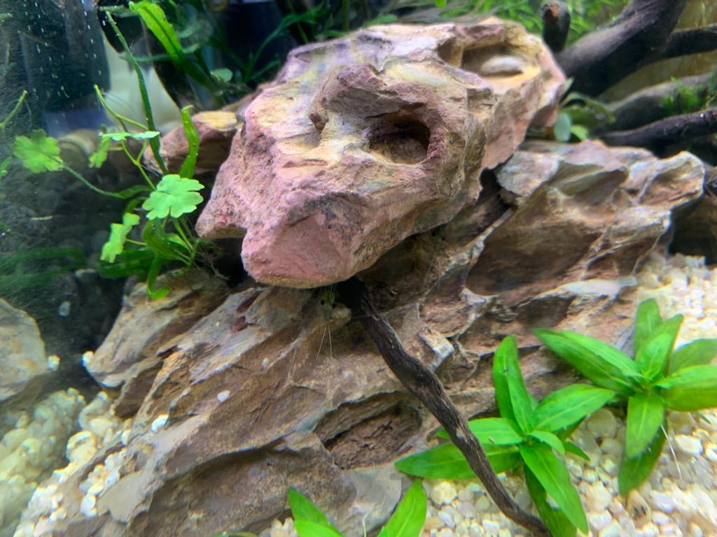 岩陰に隠れるヤマトヌマエビ