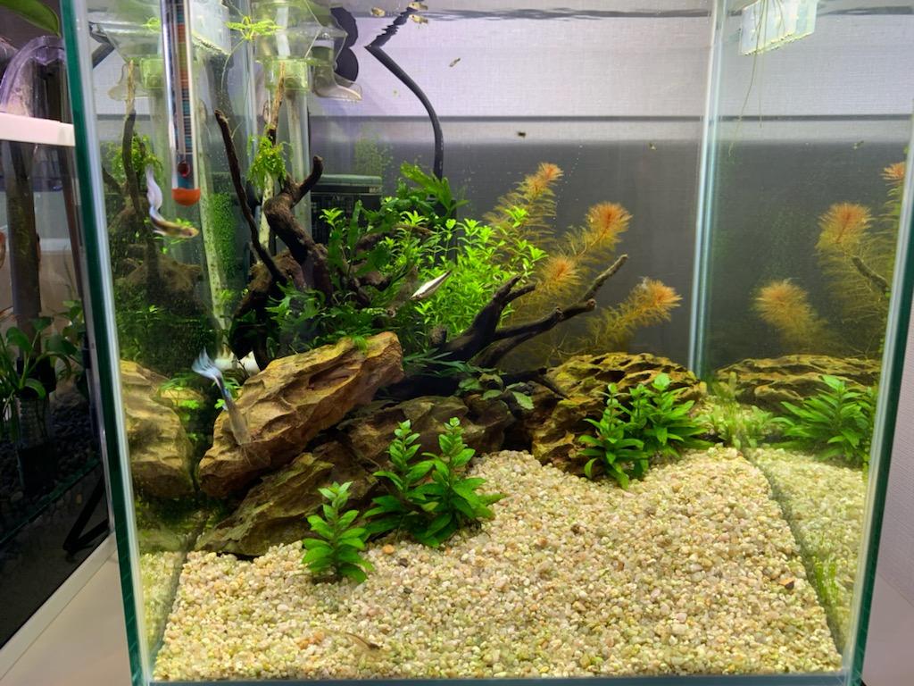 ストロギネレペンスを植えた30cm水槽