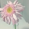 今までで一番好きすぎてテンション上がる! 薄ピンクのガーベラ!!!