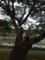 息子達のお気に入りの欅の大木