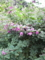 萩に夢中の蜂