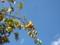 散歩途中にみた秋の空に浮かぶ渋柿