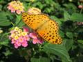昆虫園の蝶