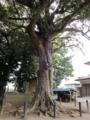 樹齢380年のアカガシ